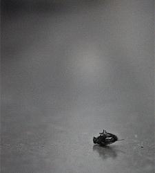 mosca-morta
